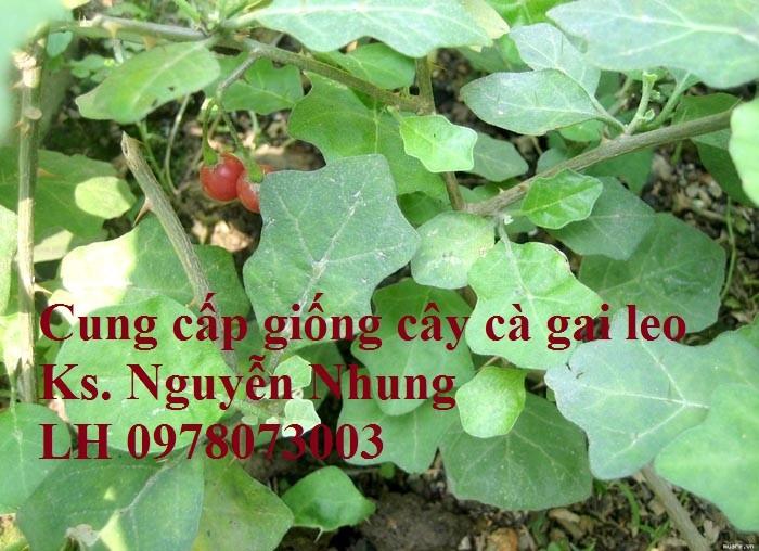 Giống cây cà gai leo, hạt giống cà gai leo, hàng loại 1, cam kết chất lượng, giao hàng toàn quốc7