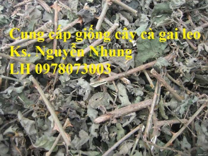 Giống cây cà gai leo, hạt giống cà gai leo, hàng loại 1, cam kết chất lượng, giao hàng toàn quốc4