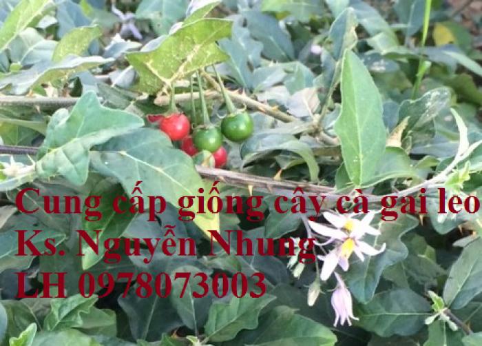 Giống cây cà gai leo, hạt giống cà gai leo, hàng loại 1, cam kết chất lượng, giao hàng toàn quốc10