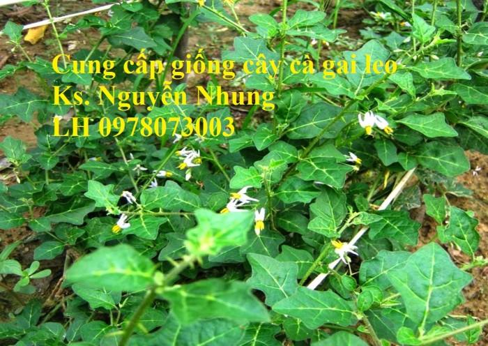 Giống cây cà gai leo, hạt giống cà gai leo, hàng loại 1, cam kết chất lượng, giao hàng toàn quốc1