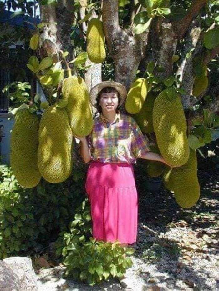 mít trái dài malaysia4