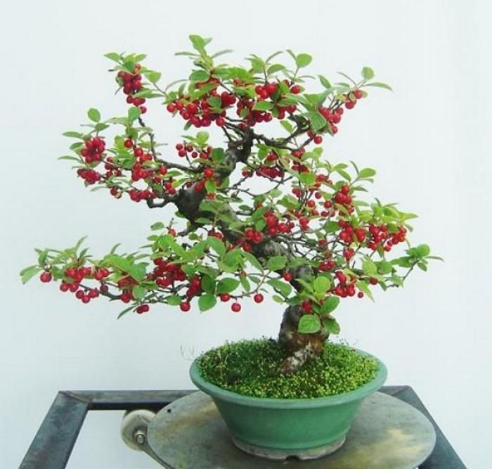 Cây giống Anh đào Triều Triên, cây anh đào mini, anh đào Triều Tiên trồng làm cảnh6