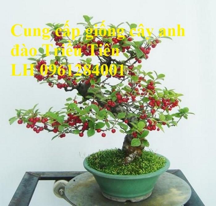 Cây giống Anh đào Triều Triên, cây anh đào mini, anh đào Triều Tiên trồng làm cảnh2