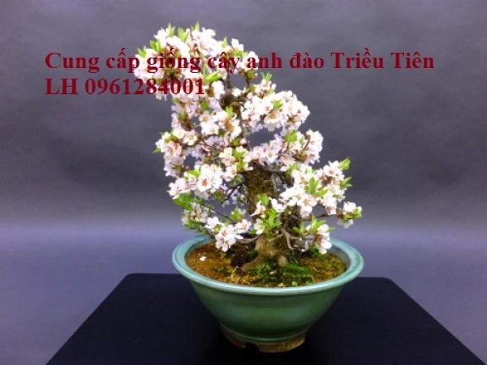 Cây giống Anh đào Triều Triên, cây anh đào mini, anh đào Triều Tiên trồng làm cảnh7