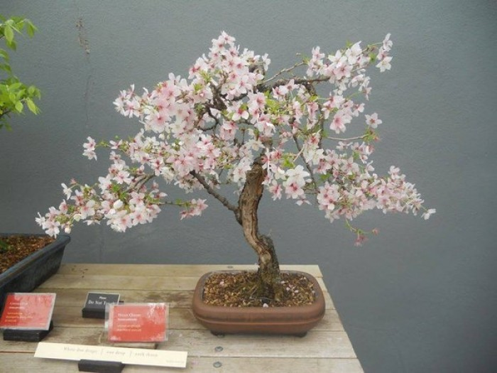 Cây giống Anh đào Triều Triên, cây anh đào mini, anh đào Triều Tiên trồng làm cảnh4