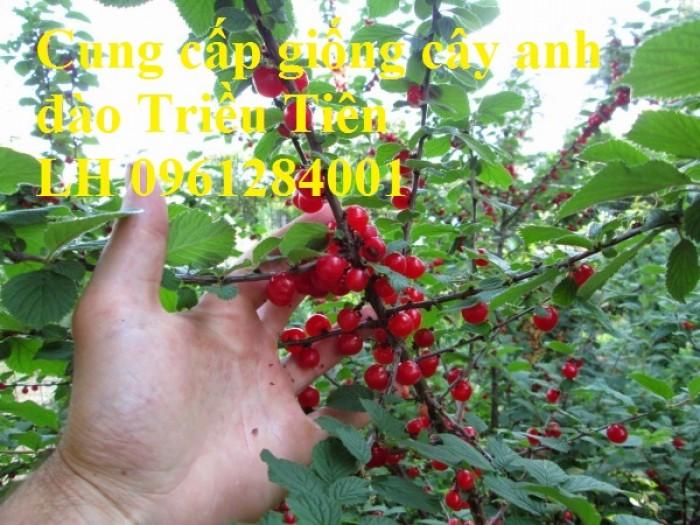 Cây giống Anh đào Triều Triên, cây anh đào mini, anh đào Triều Tiên trồng làm cảnh3
