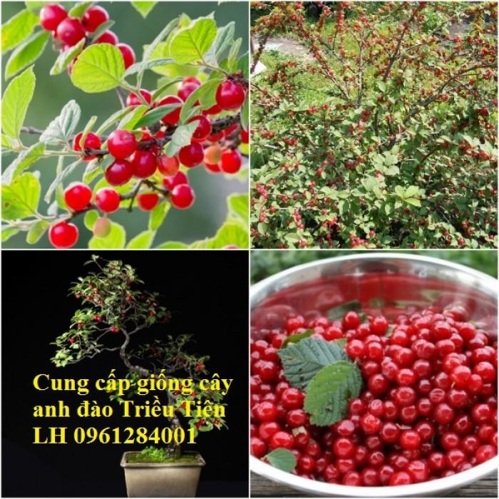 Cây giống Anh đào Triều Triên, cây anh đào mini, anh đào Triều Tiên trồng làm cảnh1