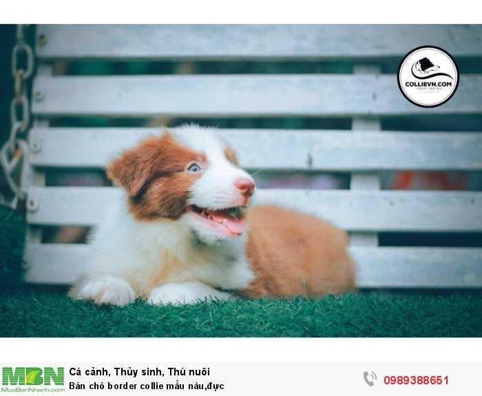 Bán chó border collie mầu nâu,đực1