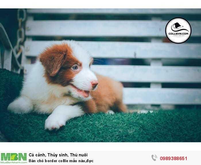 Bán chó border collie mầu nâu,đực2