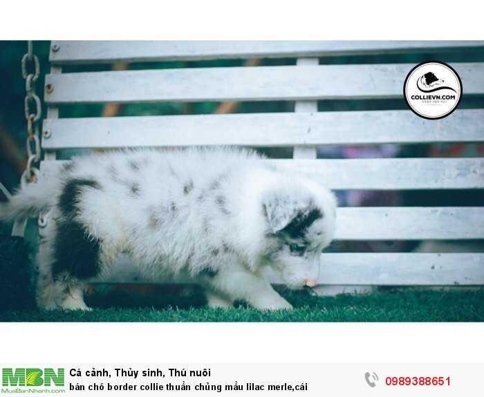 bán chó border collie thuần chủng mầu lilac merle,cái0
