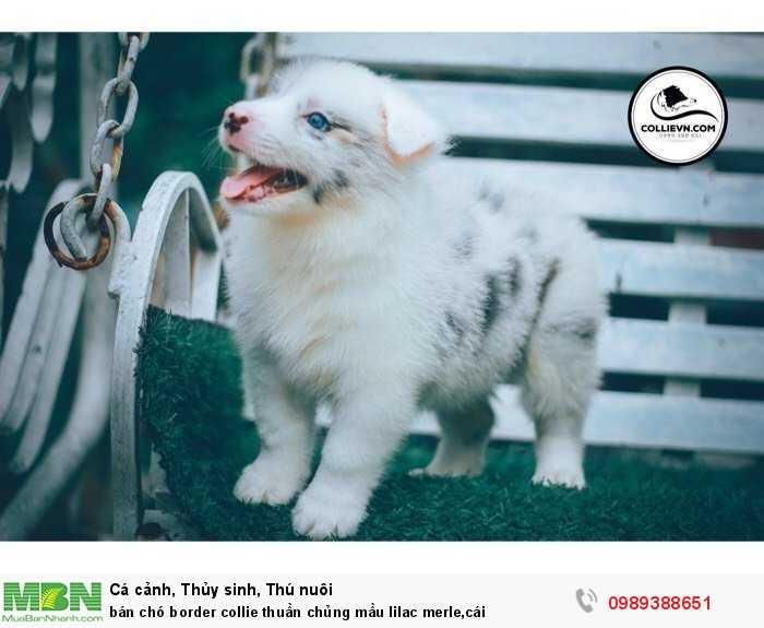 bán chó border collie thuần chủng mầu lilac merle,cái1