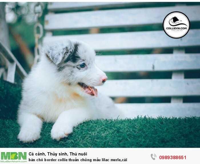 bán chó border collie thuần chủng mầu lilac merle,cái2