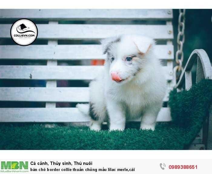 bán chó border collie thuần chủng mầu lilac merle,cái3