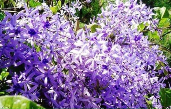 Hoa mai xanh3