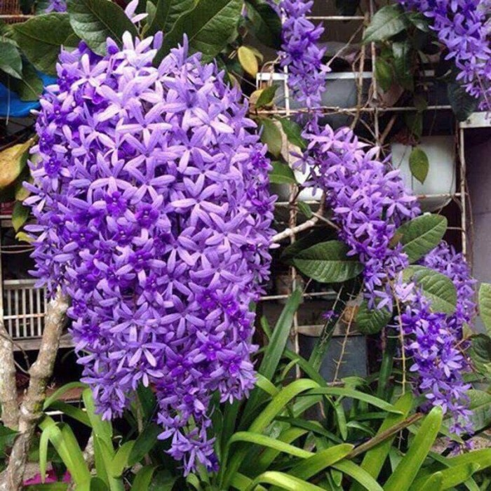 Hoa mai xanh2