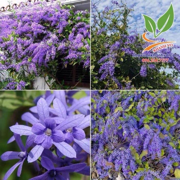 Hoa mai xanh1