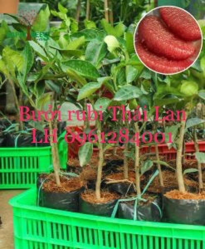 Cung cấp giống bưởi rubi thái lan, bưởi đỏ, bưởi rubi, bưởi thái lan, cây giống nhập khẩu f19