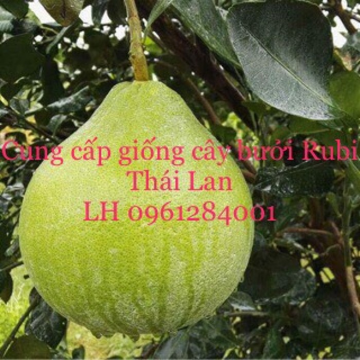 Cung cấp giống bưởi rubi thái lan, bưởi đỏ, bưởi rubi, bưởi thái lan, cây giống nhập khẩu f110