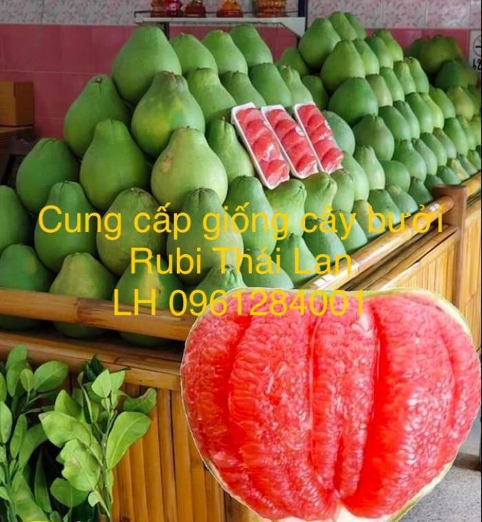 Cung cấp giống bưởi rubi thái lan, bưởi đỏ, bưởi rubi, bưởi thái lan, cây giống nhập khẩu f14