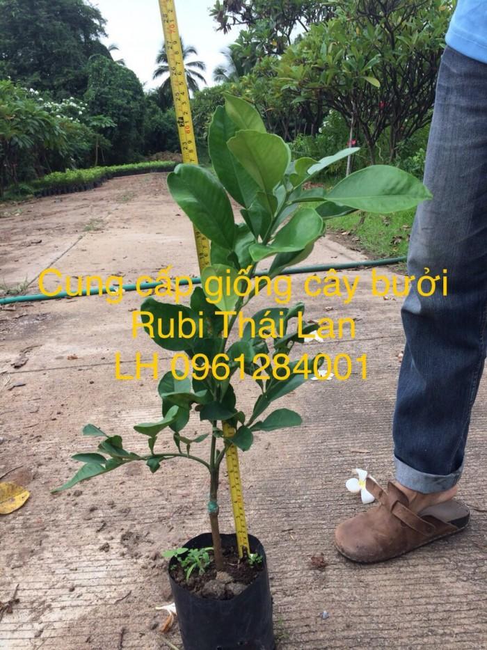 Cung cấp giống bưởi rubi thái lan, bưởi đỏ, bưởi rubi, bưởi thái lan, cây giống nhập khẩu f12