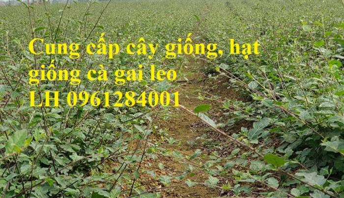 Giống cây cà gai leo, cây giống, hạt giống cà gai leo, cà gai leo4