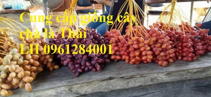 Địa chỉ uy tín cung cấp giống cây chà là, chà là Thái Lan15