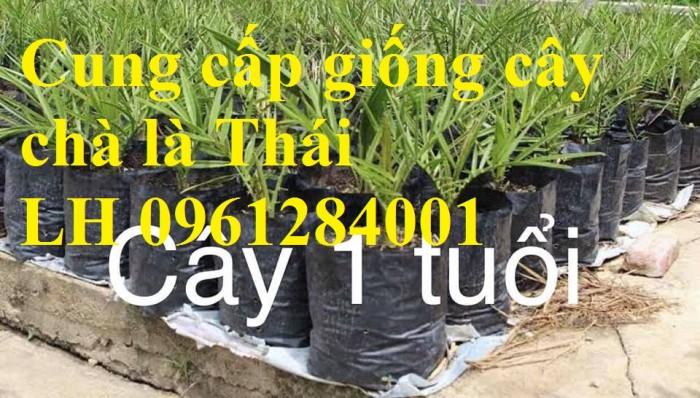 Địa chỉ uy tín cung cấp giống cây chà là, chà là Thái Lan14