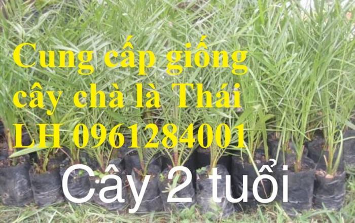 Địa chỉ uy tín cung cấp giống cây chà là, chà là Thái Lan13