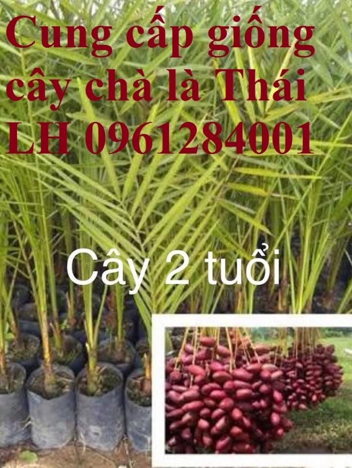 Địa chỉ uy tín cung cấp giống cây chà là, chà là Thái Lan5