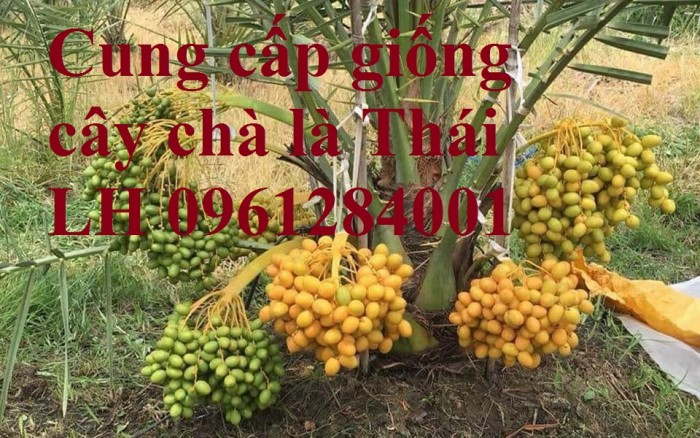 Địa chỉ uy tín cung cấp giống cây chà là, chà là Thái Lan10