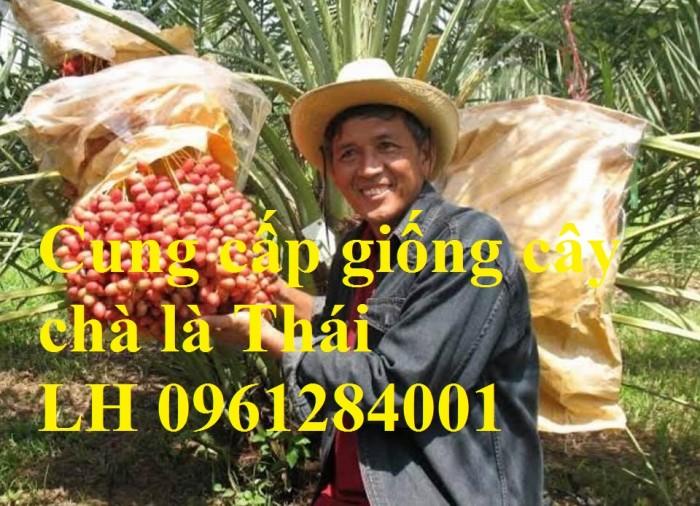 Địa chỉ uy tín cung cấp giống cây chà là, chà là Thái Lan9