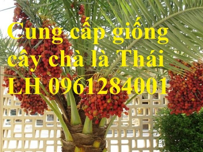 Địa chỉ uy tín cung cấp giống cây chà là, chà là Thái Lan6