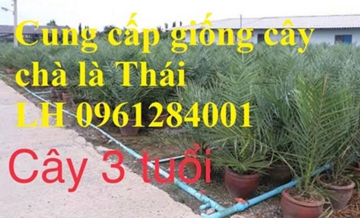 Địa chỉ uy tín cung cấp giống cây chà là, chà là Thái Lan8