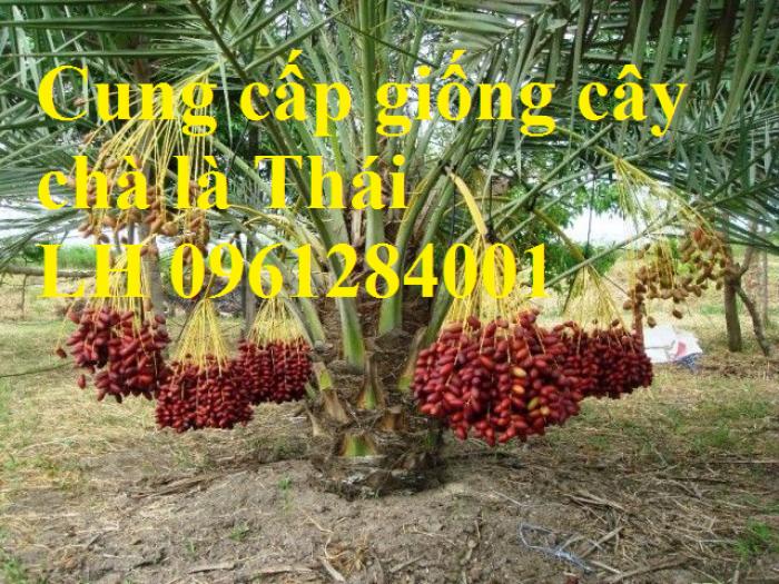Địa chỉ uy tín cung cấp giống cây chà là, chà là Thái Lan12