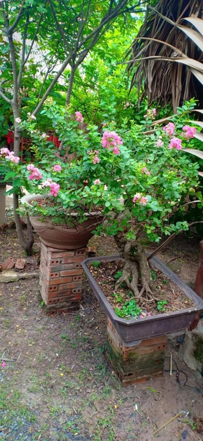 Hoa Tường Vy màu hồng bonsai đang trổ bông1