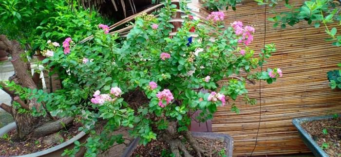 Hoa Tường Vy màu hồng bonsai đang trổ bông0