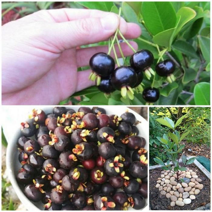 Cherry Brazil cây giống cao 60-80cm, bộ rễ phát triển khỏe mạnh, có sẵn trong bầu đất4