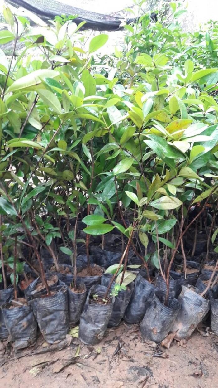 Cherry Brazil cây giống cao 60-80cm, bộ rễ phát triển khỏe mạnh, có sẵn trong bầu đất1