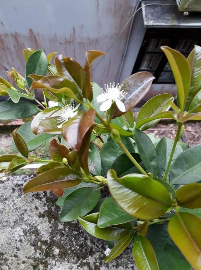 Cherry Brazil cây giống cao 60-80cm, bộ rễ phát triển khỏe mạnh, có sẵn trong bầu đất0