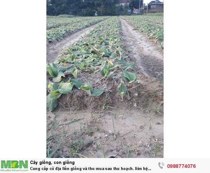 Cung cấp củ địa liền giống và thu mua sau thu hoạch0