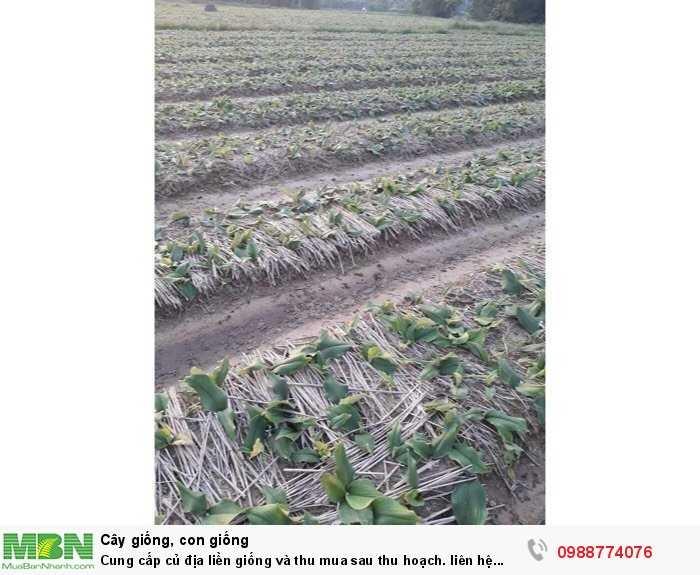 Cung cấp củ địa liền giống và thu mua sau thu hoạch1