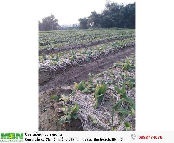 Cung cấp củ địa liền giống và thu mua sau thu hoạch3