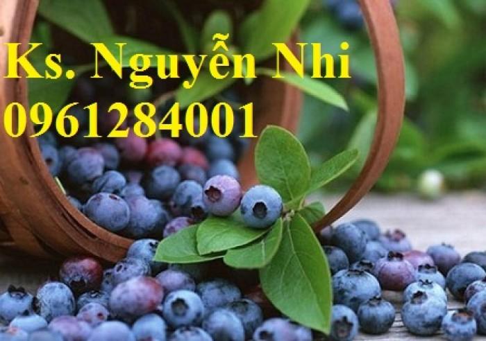 Cây giống việt quất, blueberry, cây việt quất, cây giống uy tín, chất lượng18