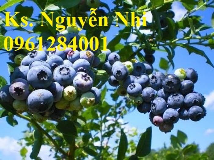 Cây giống việt quất, blueberry, cây việt quất, cây giống uy tín, chất lượng17