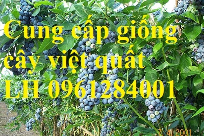 Cây giống việt quất, blueberry, cây việt quất, cây giống uy tín, chất lượng15