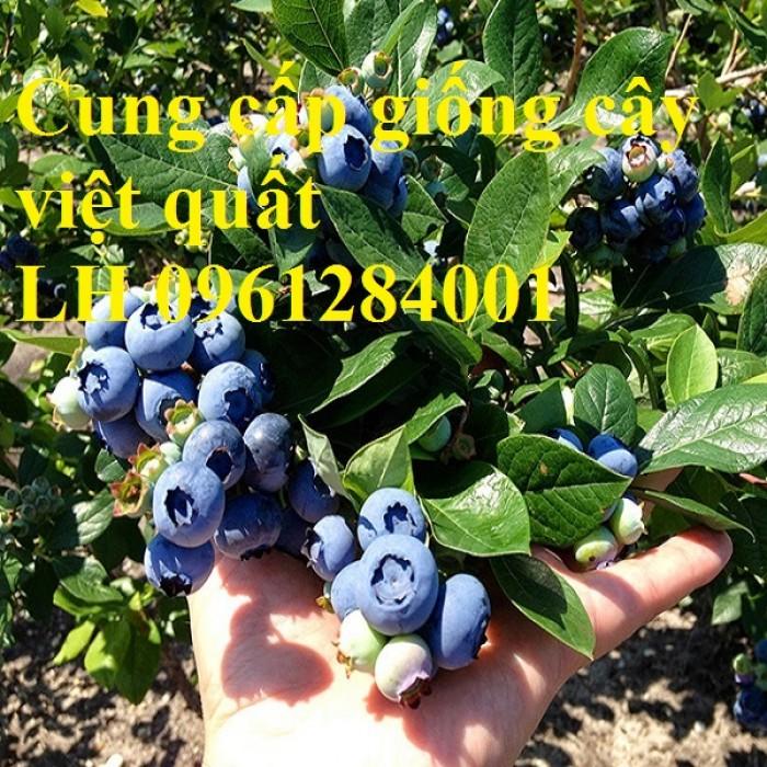 Cây giống việt quất, blueberry, cây việt quất, cây giống uy tín, chất lượng10