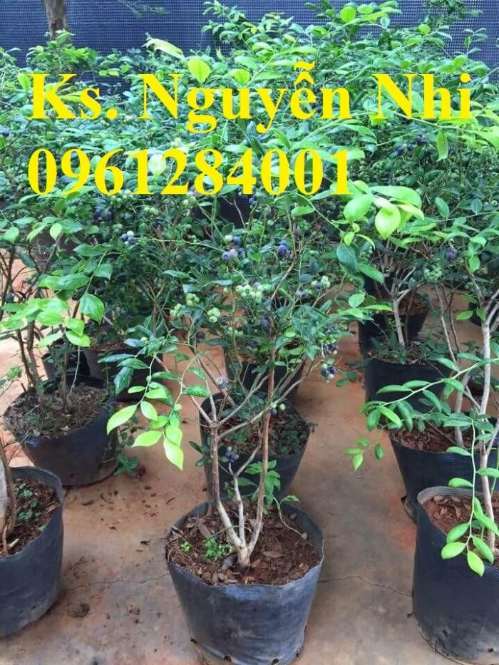 Cây giống việt quất, blueberry, cây việt quất, cây giống uy tín, chất lượng4
