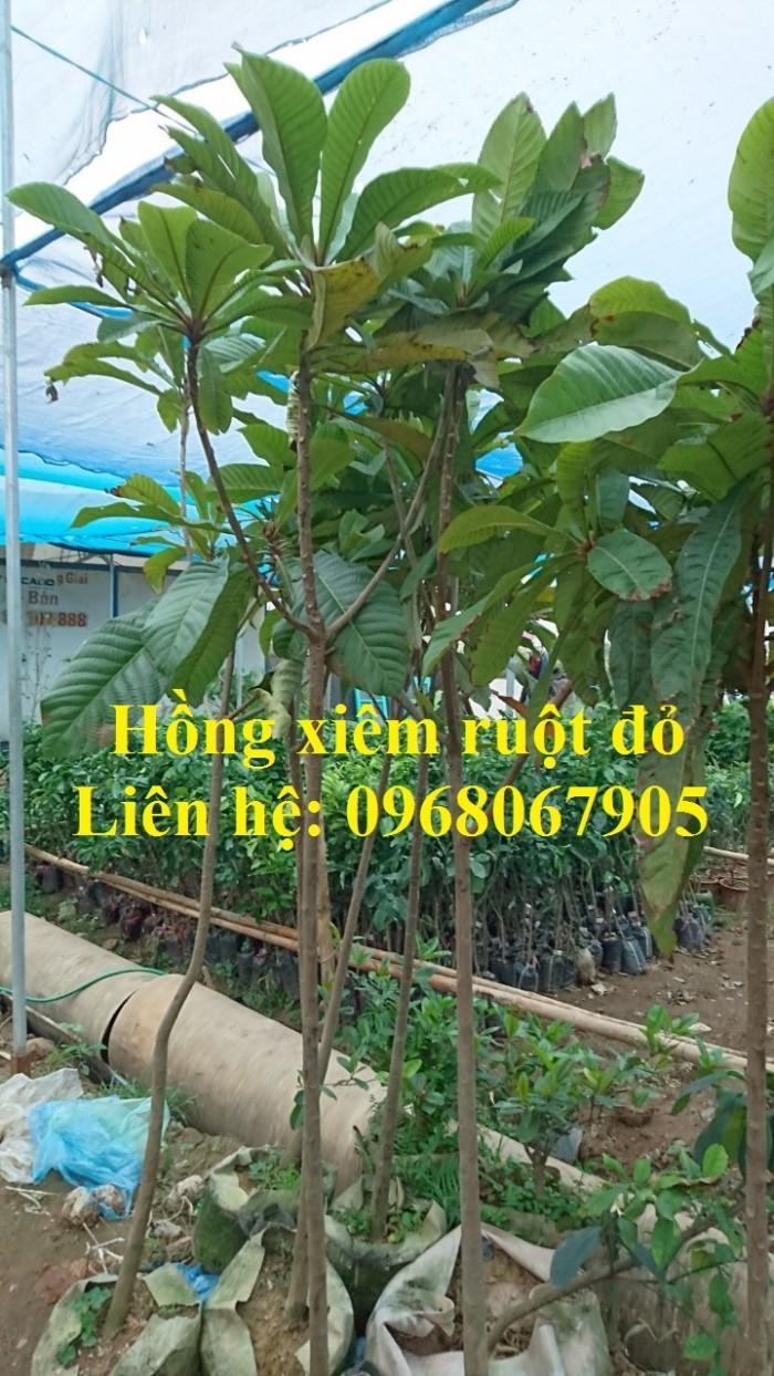 Cung cấp giống Hồng xiêm khổng lồ Thái Lan, Hồng Xiêm ruột đỏ Thái Lan. Hàng nhập khẩu F1.6