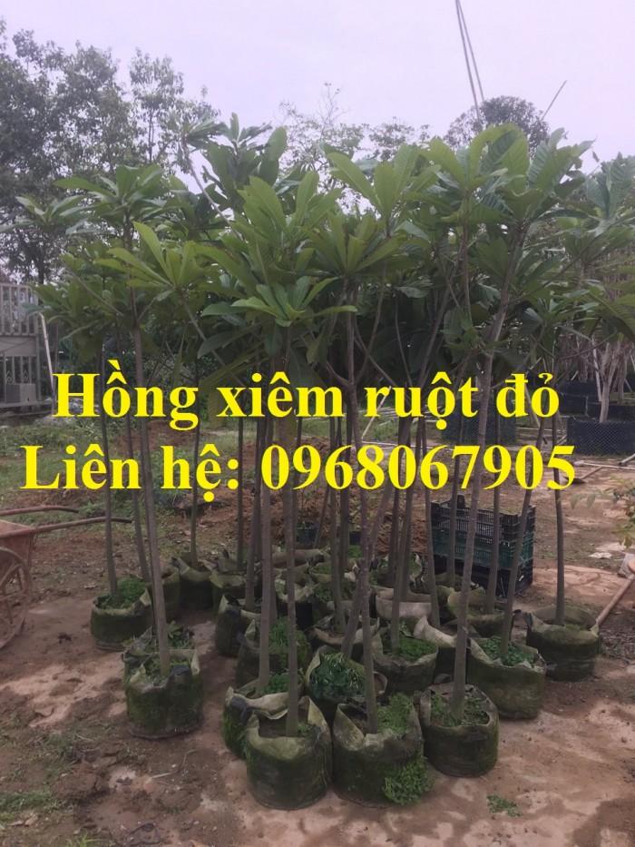 Cung cấp giống Hồng xiêm khổng lồ Thái Lan, Hồng Xiêm ruột đỏ Thái Lan. Hàng nhập khẩu F1.7