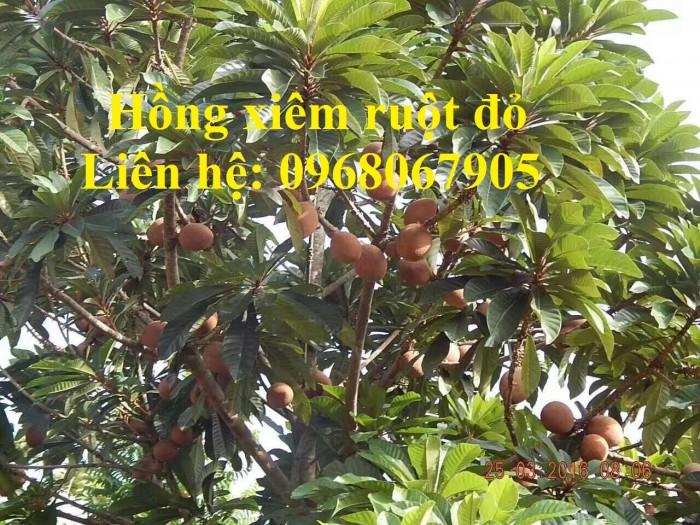Cung cấp giống Hồng xiêm khổng lồ Thái Lan, Hồng Xiêm ruột đỏ Thái Lan. Hàng nhập khẩu F1.11